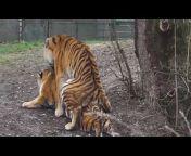Tigers tigers