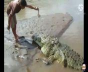 ये आलसी मगरमच्छ पिछले 20 साल से इस आदमी के हाथों मुफ्त में उड़ा रहा मटन की दावत<br/>This lazy crocodile has been flying free mutton at the hands of this man for the last 20 years